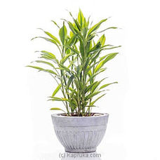 Sanderiana Gold Indoor Live Plant at Kapruka Online