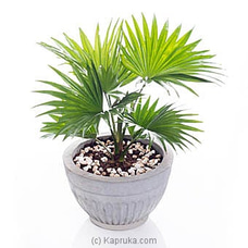 Livistona Indoor Plant By Flower Republic at Kapruka Online for flowers