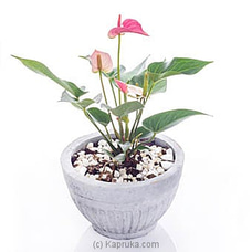 Anthurium Pink Champion at Kapruka Online