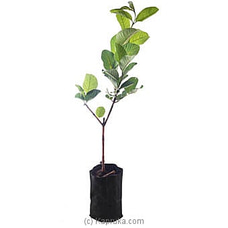 Guava Plant By Flower Republic at Kapruka Online for flowers