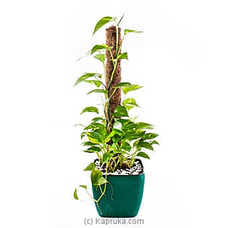 Scindapsus Marble Queen By Flower Republic at Kapruka Online for flowers