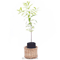 Sandalwood Plant - A Life Time Gift By Flower Republic at Kapruka Online for flowers