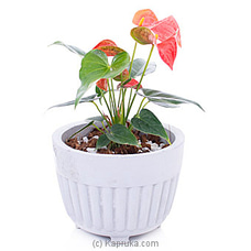 Anthurium Bambino Red at Kapruka Online
