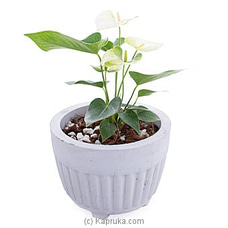 Anthurium Namora Plant By Flower Republic at Kapruka Online for flowers