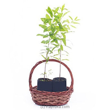 Two Sandalwood Plants In A Basket By Flower Republic at Kapruka Online for flowers