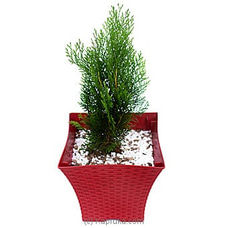 Lemon Cypress Tree PLANTS at Kapruka Online