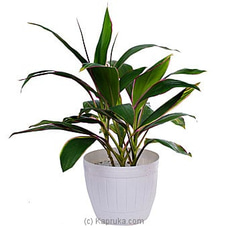 Cordyline Lemon Red Edge Plant By Flower Republic at Kapruka Online for flowers