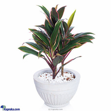 Cordyline Compacta Purple Plant By Flower Republic at Kapruka Online for flowers