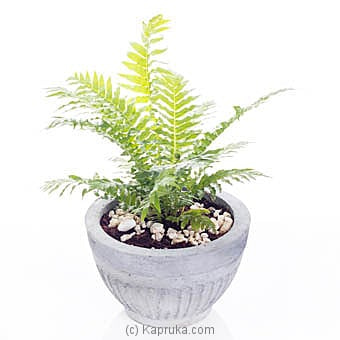 Silver Lady Plant Online at Kapruka | Product# flowers00T985