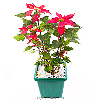 Poinsettia Plant Online at Kapruka | Product# flowers00T1050