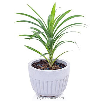 Rampe Plant Online at Kapruka | Product# flowers00T1110
