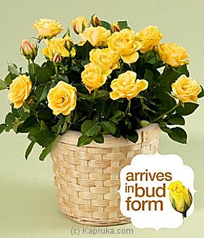 Potted Yellow Rose at Kapruka Online for intgift