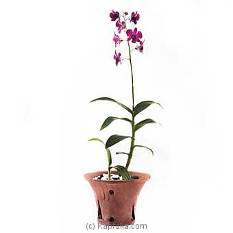 Dendrobium Orchid Plant By Flower Republic at Kapruka Online forflowers