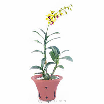 Yellow Dendrobium Orchid Plant By Flower Republic at Kapruka Online forflowers