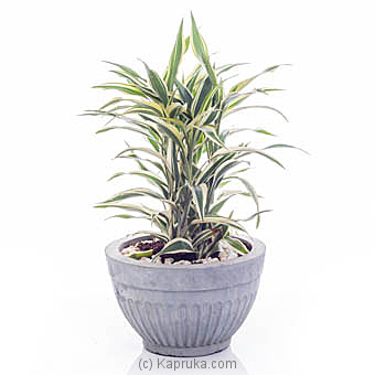 Sanderiana White Indoor Live Plant By Flower Republic at Kapruka Online forflowers