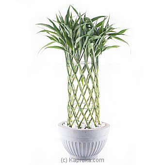 Sandriyana Decorative Plant By Flower Republic at Kapruka Online forflowers