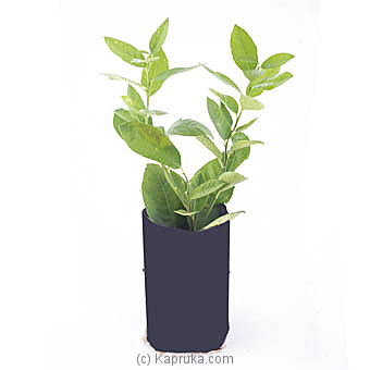 Lemon Plant By Flower Republic at Kapruka Online forflowers