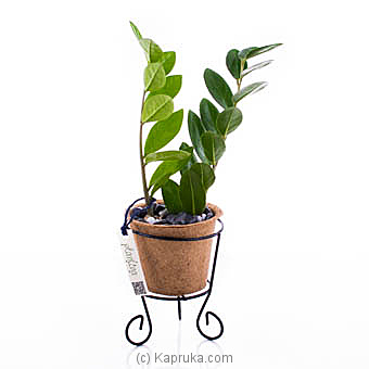 Zanzibar Gem Plant (Money Plant) By Flower Republic at Kapruka Online forflowers