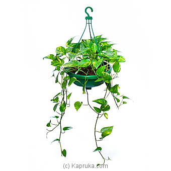 Scindapsus Aureus Hanging Pot   By Flower Republic at Kapruka Online forflowers