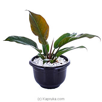 Philodendron Xanadu By Flower Republic at Kapruka Online forflowers
