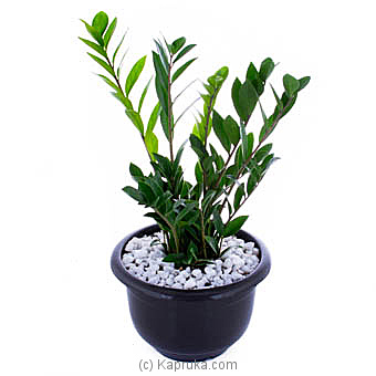 Zamioculcas (Lucky Plant) By Flower Republic at Kapruka Online forflowers
