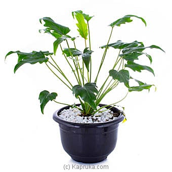 Philodendron Autumn By Flower Republic at Kapruka Online forflowers