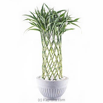 Sandriyana Decorative Plant at Kapruka Online
