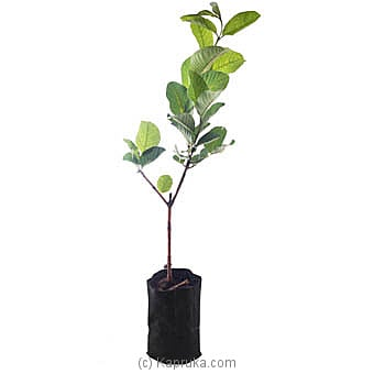 Guava Plant Online at Kapruka | Product# flowers00T1003