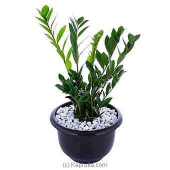 Zamioculcas (lucky Plant) Online at Kapruka | Product# flowers00T1034