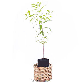 Sandalwood Plant - A Life Time Gift Online at Kapruka   Product# flowers00T1108