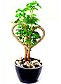 Polyscia Crispum Heart Shaped Plant(natural) at Kapruka Online